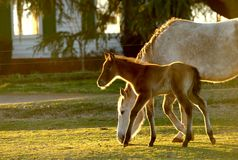 Young Foal with mom 02. A young foal with mother at sunset on the ranch stock photos