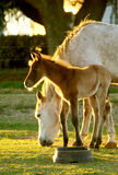 Young Foal with mom. A young foal with mother at sunset on the ranch stock photo