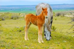 Young foal with mother horse grazing in the meadow royalty free stock photos