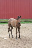 Young foal near red barn. Close up of young foal in front of red barn Royalty Free Stock Photos