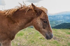 A young foal portrait Stock Photography