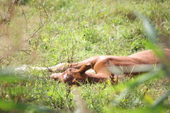Young foal resting on the ground in summer Stock Images