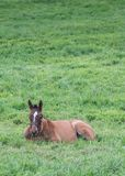 Young Foal Rests in Green Grass Stock Image