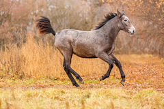 Young foal running free Stock Image