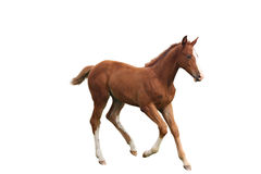 Young foal running free isolated on white Royalty Free Stock Image