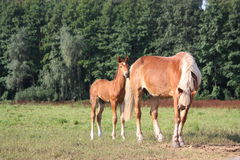 Young foal standing at the pasture with his mother Royalty Free Stock Images