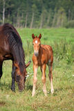 Young foal standing at the pasture with his mother Stock Images