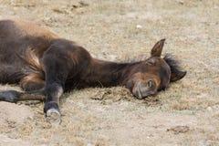 A young foal takes a nap at Song Kul Lake. In Kyrgyzstan Stock Photos