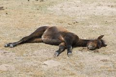 A young foal takes a nap at Song Kul Lake. A young foal takes a nap near Song Kul Lake in Kyrgyzstan Royalty Free Stock Images