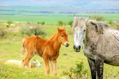 Young foal on a walk with a big horse royalty free stock photos