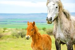 Young foal on a walk with a big horse stock photo