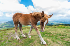 A young foal walking in the mountain Royalty Free Stock Image