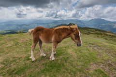 A young foal walking in the mountain Royalty Free Stock Photos