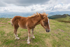 A young foal walking in the mountain Royalty Free Stock Photography