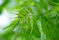 Young foliage. Spring foliage is still very young tender. It is full of freshness and life Stock Image