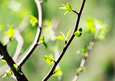 Young foliage. Beautiful spring picture Royalty Free Stock Photos