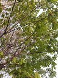 Young foliage chestnut in spring in a park or garden, against a sky background stock photo