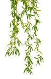 Young foliage and flowers of willow. Isolated. Spring. nature. F. Spring willow branches. willow`s twigs. Spring willow tree in bloom. Isolated on white royalty free stock photo