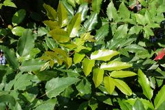 Young foliage of Mahonia aquifolium in summer. Young lush foliage of Mahonia aquifolium in summer stock photos