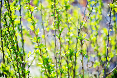 Young foliage Royalty Free Stock Photos