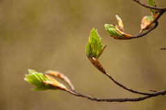 Young foliage twig Stock Photography