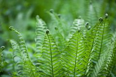 The young forest fern looks very unusual with curls at the ends of the leaves royalty free stock images