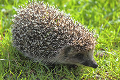 Young forest Hedgehog. Stock Photo