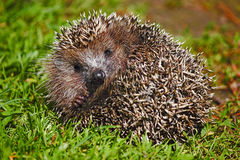Young forest Hedgehog. Stock Images