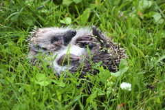 Young forest Hedgehog. Royalty Free Stock Photos