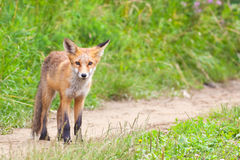 Young fox Stock Photo