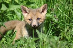 Young fox. Royalty Free Stock Photography