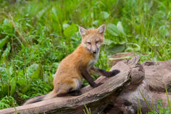 Young fox Stock Photography