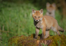 Young fox Royalty Free Stock Image
