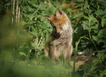 Young fox at the den Stock Photo