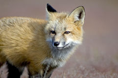 Young Fox Exploring royalty free stock photography