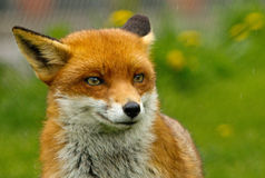A young Fox head, looking straight ahead Stock Images