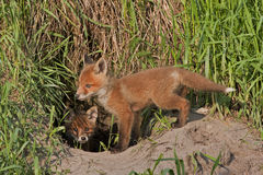 Young fox in the hole Royalty Free Stock Images