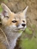 Young Fox Kit Royalty Free Stock Photo