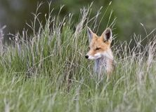 Young Fox Kit Royalty Free Stock Images