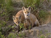 Young Fox Kit Stock Photography