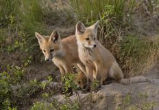 Young Fox Kit Royalty Free Stock Photography