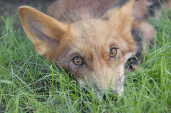 Young fox lying on the grass. A portrait of a young fox on the grass Stock Images