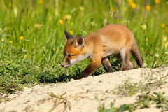 Young fox near the den Royalty Free Stock Photography