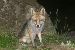 Wild young fox at night, Spain,Europe Royalty Free Stock Image