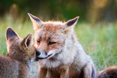 Young fox and parent at sunset. Young fox and parent at a cute moment around sunset Royalty Free Stock Photography
