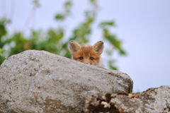 Young fox peeking Royalty Free Stock Photography