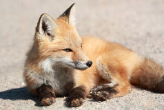 Young fox Royalty Free Stock Photography
