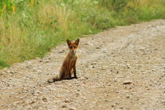 Young fox on rural road Stock Photo
