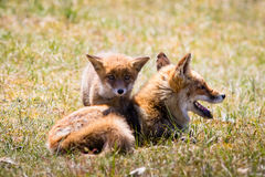 Young fox with it`s mother in the grass Stock Images