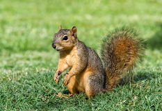 Young Fox Squirrel. Cheerful looking young Eastern Fox squirrel (Sciurus niger) in the garden royalty free stock photo